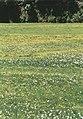 Narcissus poeticus2.jpg