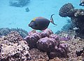 Naso elegans - Изящная рыба-носорог -Elegant unicornfish..DSCF2132ОВ.jpg