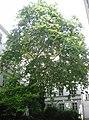 Naturdenkmal 726 GuentherZ 2011-08-29 3165 Wien01 Singerstrasse11 Platane.JPG