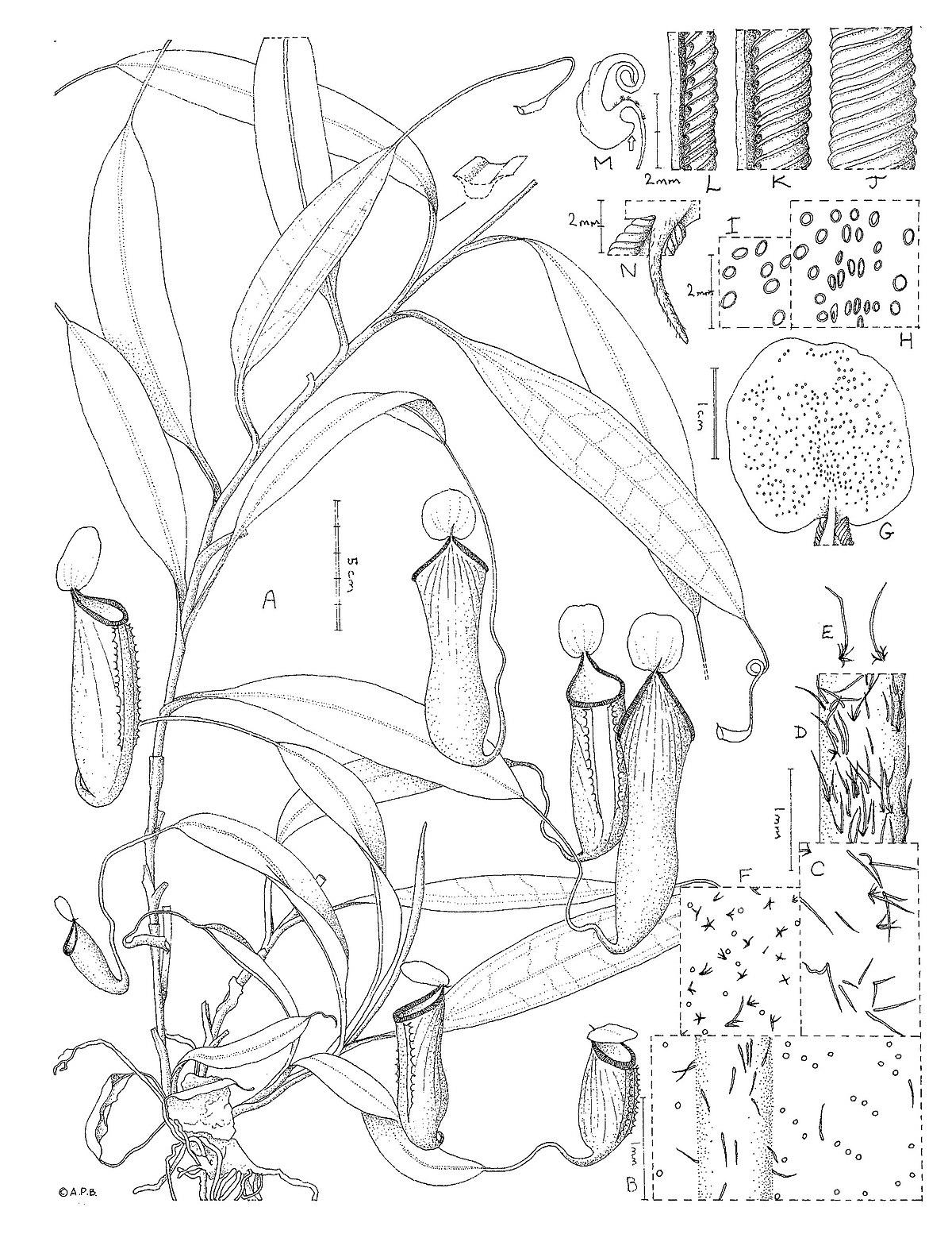 Nepenthes cid - Wikipedia