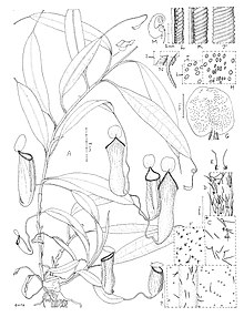 Nepenthes cid botanical illustration.jpg