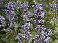 N. grandiflora, blånepeta
