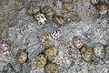 Nerita versicolor (four-toothed nerite snails) in a rocky shore intertidal zone (San Salvador Island, Bahamas) 1 (15828161888).jpg