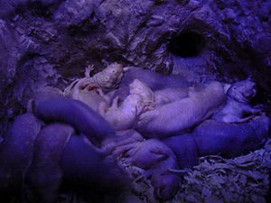 Cheating (biology) - A nest of naked mole rats