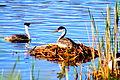 Nesting Western Grebes (7349528574) (2).jpg