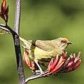 New Zealand Bellbird (cropped).jpg