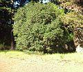Newlands forest - Bladdernut bush - diospyros whyteana - CT.JPG