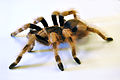 Nhandu coloratovillosus - subadult female 3.jpg