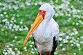 Nimmersatt (Mycteria ibis)- Weltvogelpark Walsrode 2011.jpg