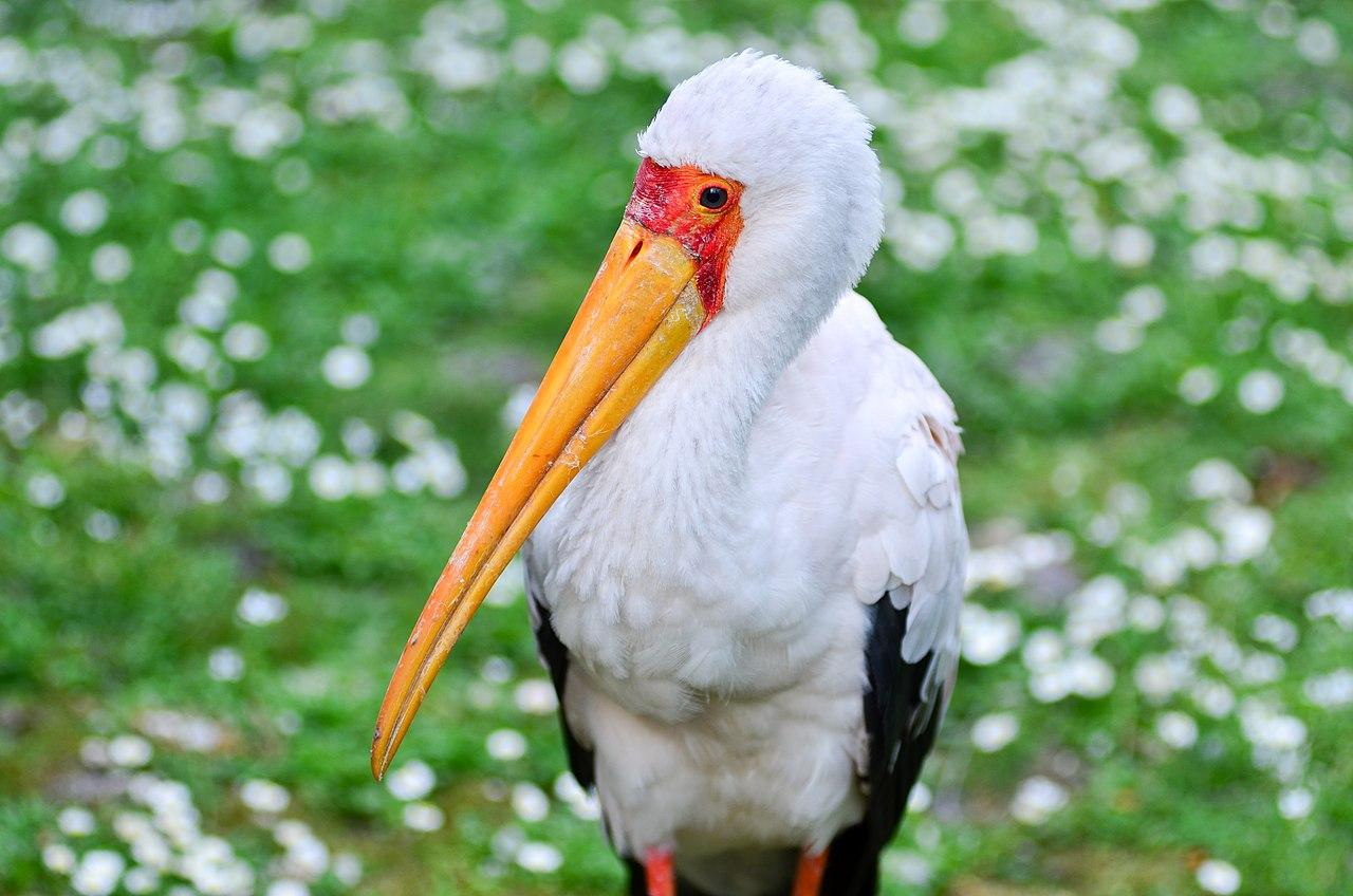 Resultado de imagen para Mycteria ibis
