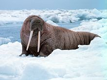 Picture of a walrus to illustrate walrasian equilibrium