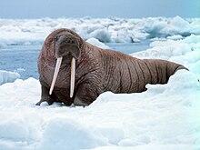 Grande morsa no gelo, Alaska