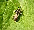 Nomada bee - Flickr - gailhampshire.jpg