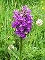 Northern Marsh-orchid (Dactylorhiza purpurella) - geograph.org.uk - 925929.jpg