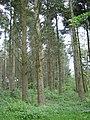 Norway spruce, Haldon Park - geograph.org.uk - 1322442.jpg