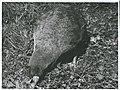 Notornis on game farm, Mount Bruce, Masterton, 1966 (8).jpg