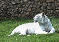 Nyíregyháza Zoo, Panthera tigris tigris, mutatio alba-5.jpg
