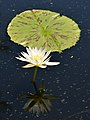 Nymphaea 'Mrs. George H. Pring' Flower.JPG