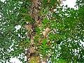 Oak-leaf Fern (Drynaria quercifolia) (8081625913).jpg