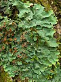 Oak Lungwort (4503938459).jpg