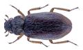Ochthebius punctatus Stephens, 1829.png