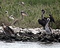 Oiled pelican on Queen Bess Island (5015327076).jpg