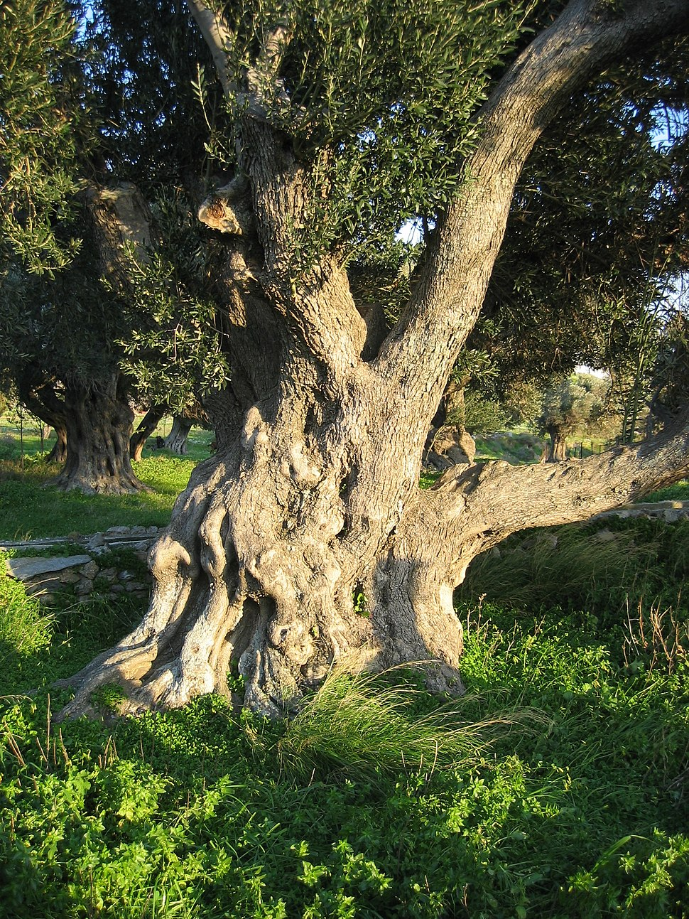 Old olive tree in Karystos, Euboia, Greece