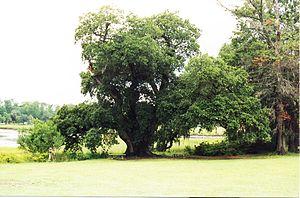 Boone Hall - Image: Oldest Oak