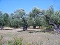 Olive grove - panoramio.jpg
