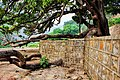 One of the oldest trees left in area, Sadhu ka Bagh.jpg