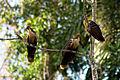 Opisthocomus hoazin -Peru -three-8.jpg