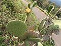 Opuntia ficus-indica-1-chenkadu-yercaud-salem-India.jpg