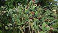 Opuntia ficus-indica (10007089534).jpg