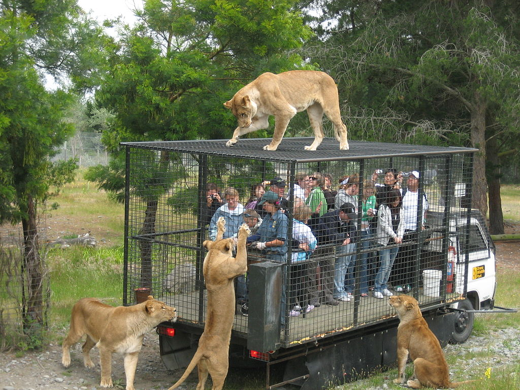 Orana Wildlife Park feeding lions