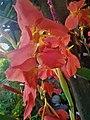 Orange Canna Lily (3).jpg
