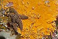 Orange sponge and Pisaster giganteus starfish (6295846930).jpg