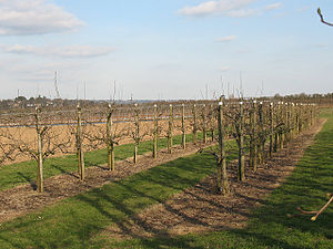 East Malling Research Station - Image: Orchard at East Malling geograph.org.uk 1228239