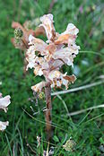 Orobanche minor-02 (xndr).jpg