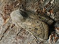 Orthosia gracilis - Powdered Quaker - Ранняя совка тёмно-серая (41033359422).jpg