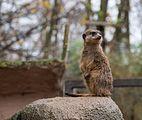 Osnabrück - Zoo - Suricata Suricatta 04.jpg