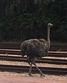 Ostrich at Rovos Rail Pretoria.jpg