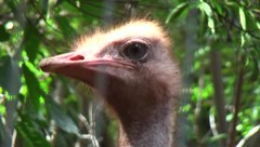 Ficheiro:Ostrich head video.ogv