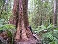 Otways Mega-Tree Hugh.jpg