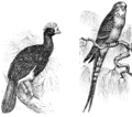 PSM V55 D058 Crested curassow and puerto rico parakeet.png