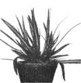 PSM V69 D224 Rosette of raimannia odorata.png