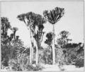 PSM V81 D436 Euphorbia tetragona near cathcart south africa.png
