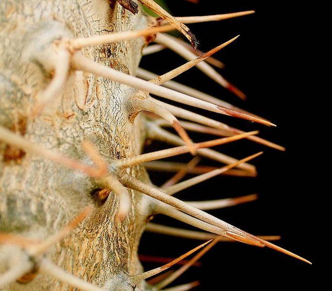 File:Pachypodium lamerei1.jpg