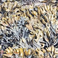 Pacific rockweed, Olympic National Park, USA.jpg