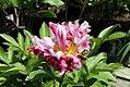 Paeonia lactiflora Circus Circus 2zz.jpg