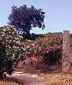 Paestum-144-Saeule-Oleander-Oelbaum-1986-gje.jpg